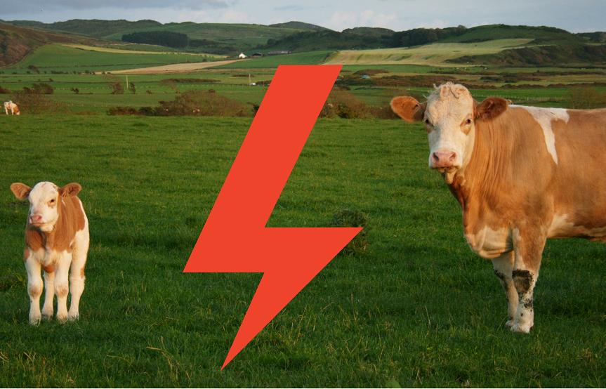 život kráv, dobytok dnešnej doby, neľudské správanie k zvieratám