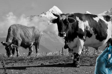 zvierata a antibiotika